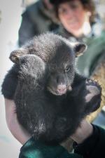 The Black Bear Population at Sugarbush Resort - 12092014 0604PM