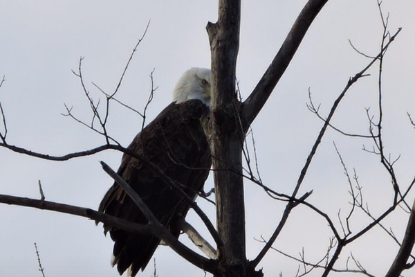 The second bald eagle sighting on Nov. 13.