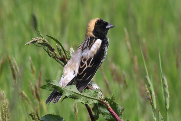 Photo courtesy Sean McCandless A male bobolink typically arrives on the breeding grounds in the Fair Hill Natural Resources Management Area in May, nests in the hay fields where they have four or five young birds, then they migrate back south to Central America.
