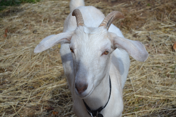 Photo by Richard L. Gaw	One of the many goats at the Centreville School's Animal Sciences Program.