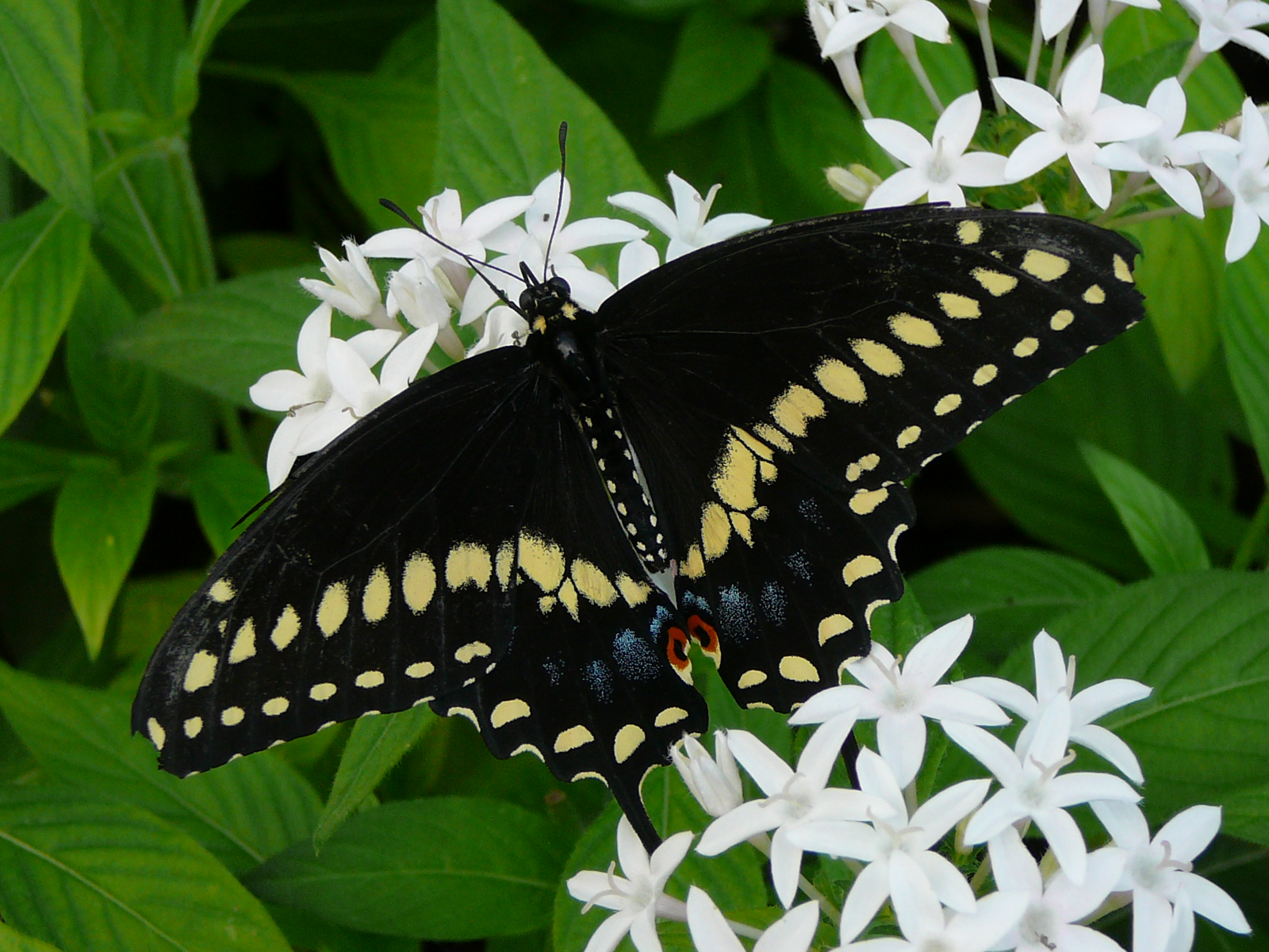 American 20black 20swallowtail 1 20photo 20by 20leslie 20thompson