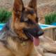 El Dorado County German Shepherd Rescue Flapjack Fundraiser - start 02282015 0800AM