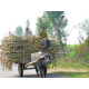 An ox cart carries sugarcane to market.