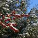 Bright berries, skies, and snow! Photo courtesy of Eric Ellis.