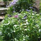 Bachelor's Buttons, Alliums, Woodland Phlox, and Chives