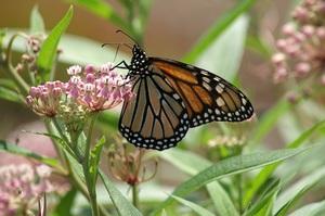 Medium monarch 20small