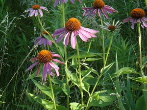Medium prairie 20plants 20038