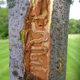 The Emerald Ash Borer Is Chester County too late to save its ash trees - 05122015 1205PM