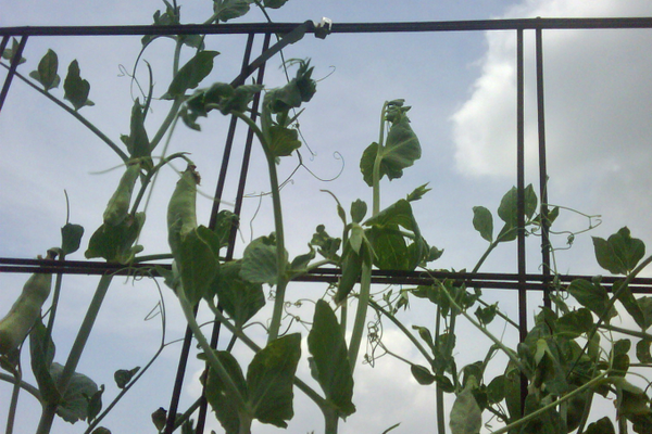 Sow sugar snap peas directly into the soil mid-February through early-March for an easy to grow Texas crop!