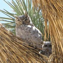 Medium horned owl web