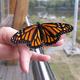 Thumb monarch