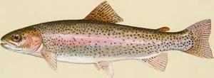Medium trout