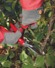 prune smell maybe roses take foliage pruning