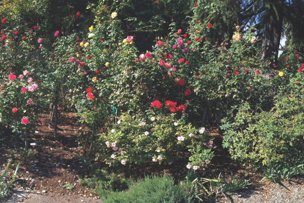 Just some of Sue Kendall's nearly 400 rose bushes.
