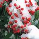 Icy berries by Becky Cannon
