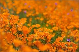 Medium poppies blog