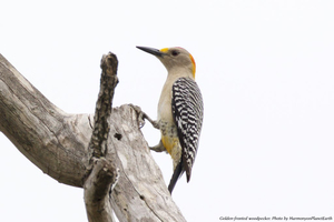 Medium birdwalk 20graphic  20woodpecker