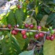 Coffee beans are grown, roasted and sold to help raise funds for The Carrizo Projectǯs work