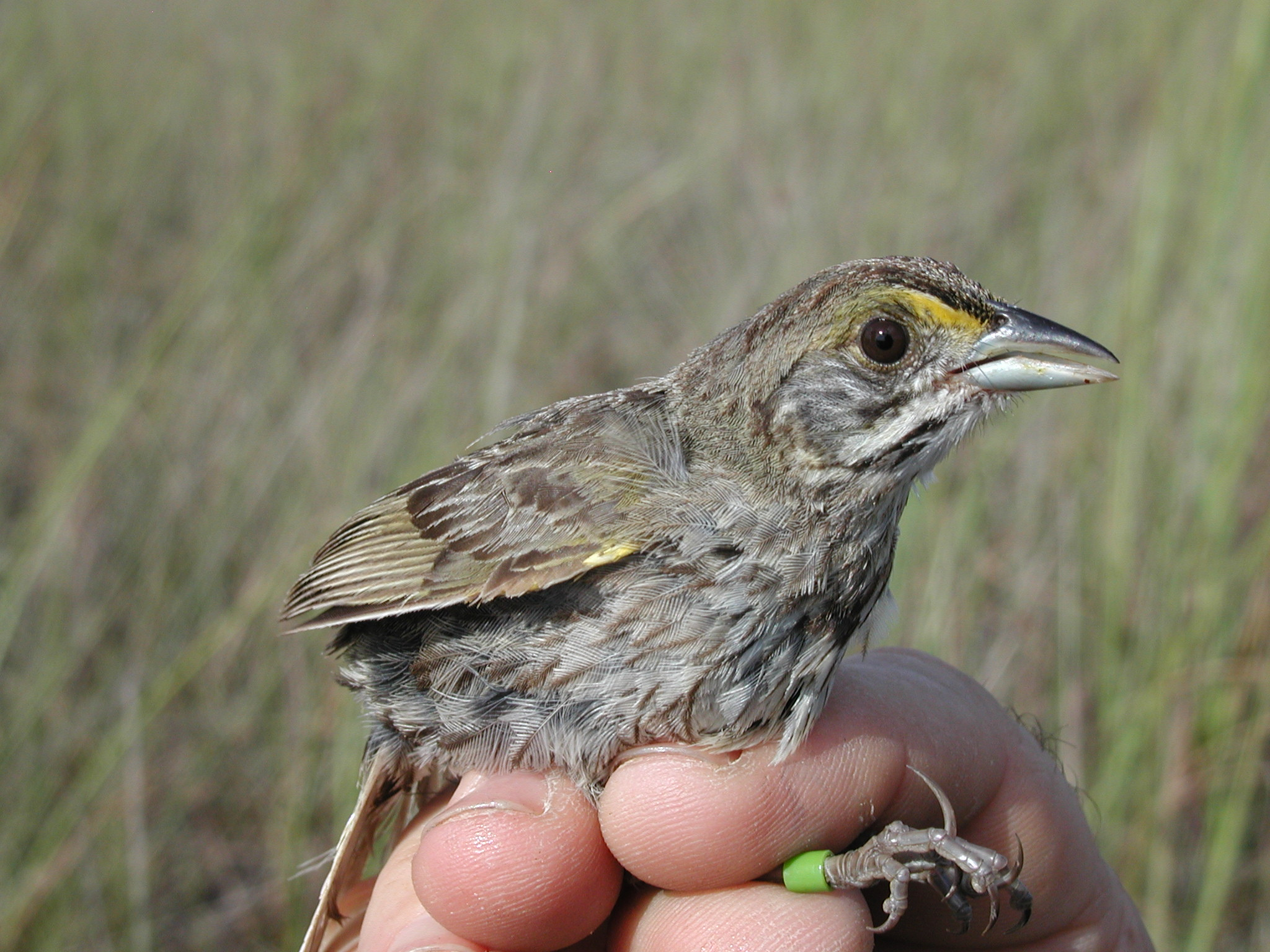 Seaside sparrow banding research  2   npsphoto  9250338006