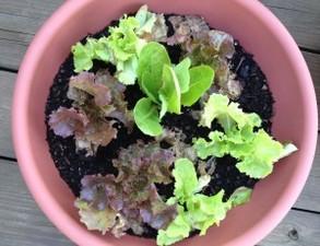 Medium lettuce 20bowl