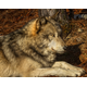 Timber Wolf Resting