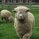 Billings Farm  Museum Features Sheep Shearing  Herding with Border Collies - start May 07 2016 1000AM