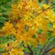 Thumb rhododendron austrinum 1