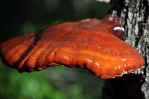 Fresh reishi in June sunlight
