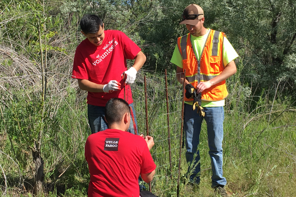 A South Jordan Parks and Recreation employee and two volunteers from Wells Fargo case a tree by the Jordan River with wire netting to keep beavers from gnawing on it. –Tori La Rue