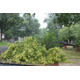 Tree damage at homes off of 89th Avenue North following July 5, 2016 storm in Maple Grove. (photo by Wendy Erlien)