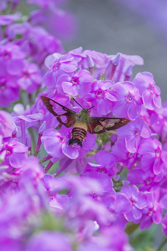 Phlox 20insect 20smaller