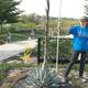 Bronte Baird, assistant horticulturist, measures the height of Conservation Garden Park's century plant. The plant, which has been in the garden for eight years, is part of a plant species that dies after it blooms, so it will die later year. – Jordan Valley Water Conservancy District
