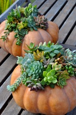 Medium succulent 20pumpkins 206