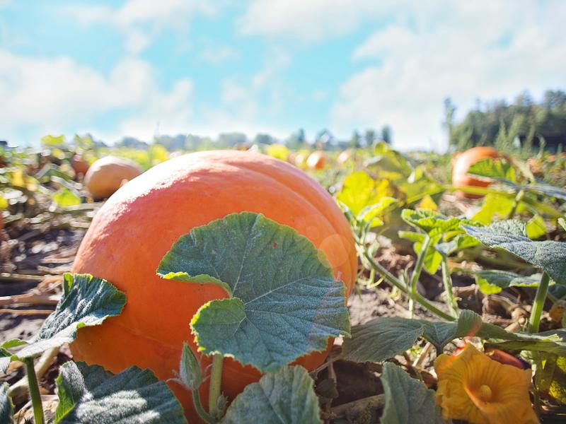 Pumpkin patch mansfield tx.