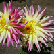 Dahlias at Mendocino Coast Botanical Gardens