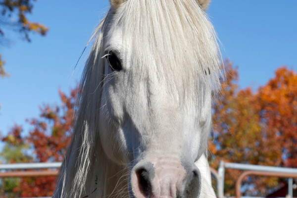 Seven is a companion horse whose adoption fee will be waived from Nov. 15-30 (credit MSPCA-Angell)
