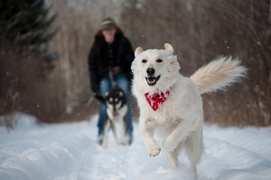 Take to the Snow with Skijoring - Dec 09 2016 0757PM