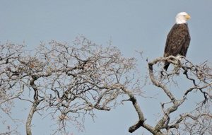 New Years Eve with the Eagles - Bald Eagle Hike with River Parkway Trust - start Dec 31 2016 0830AM