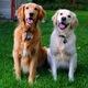 Golden retrievers Jackson and Alta (Rachel Bevan)