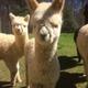 Thumb alpacas peanut gallery w