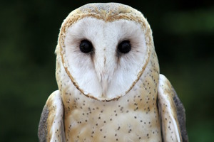 Medium barn owl web