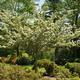 Thumb crataegus 20tree