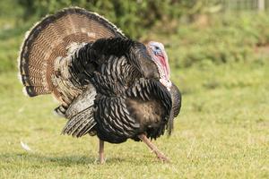 Medium turkey 20shoot