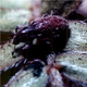 Tiny weevils are helping to control puncturevines along the Jordan River. (Goatheads.com)
