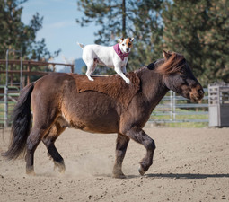 Dolly is a Jack Russell terrirer and Spanky is a rescue miniature horse These best friends love to do shows together in the US and Canada Photo courtesy of Francesca Carson