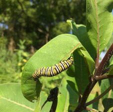 Medium milkweed 20for 20monarchs