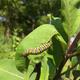 Thumb milkweed 20for 20monarchs