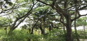 Medium koreshan state park foliage