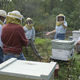 Declining Number of Bees Affects Other Animals Human Health - Jul 01 2017 1027PM
