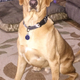 MAGIC » Magic is a four-year-old yellow Labrador. His favorite thing to do is swim in the pool—whether it's going for a quick swim or long jumping in to retrieve a toy. Scrambled eggs are his favorite food, and he loves to give kisses.—Krysta Burris